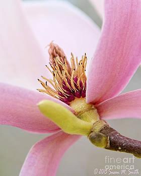 Pink Magnolia by Susan Smith