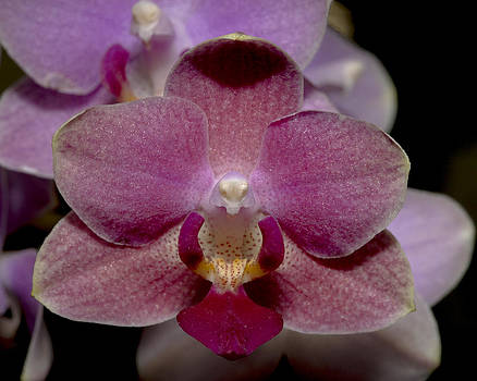 Pink Moth Orchid by Gerald Murray Photography
