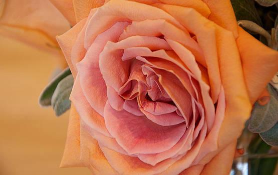 Pink 'n Orange Sherbet Rose by WDM Gallery
