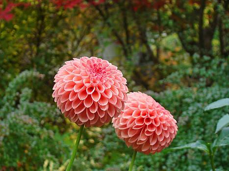 Baslee Troutman - Pink Orange Dahlia Flowers Art Prints Gardens