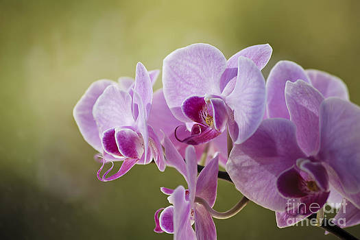 Pink Orchid by Dee Johnson