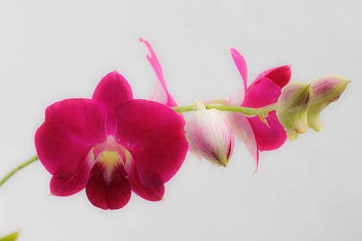 Pink Orchid by Donald Chen