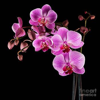 Judith  Flacke - Pink orchid flower