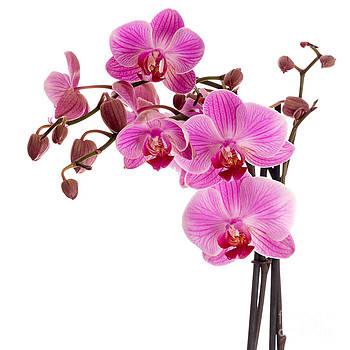 Judith  Flacke - Pink orchid