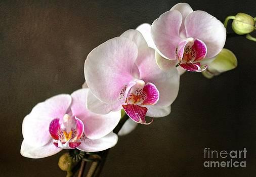 Pink Orchid by Judy Palkimas