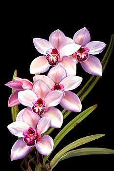 Pink Orchids by Anthony Seeker