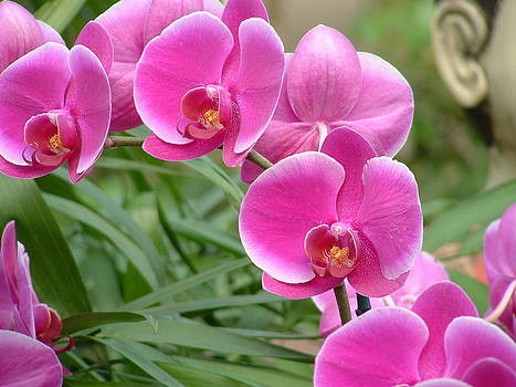 Pink orchids by Debralyn Skidmore