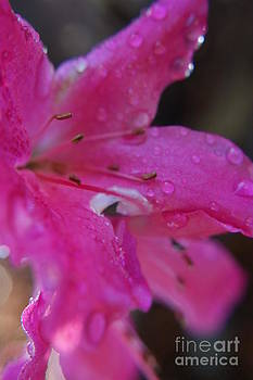 Pink Pedals with Anthers and Filaments Dripping with Water by Sherry Vance