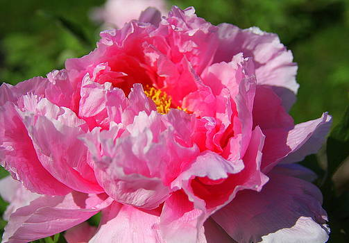 Anne Barkley - Pink Peony 2