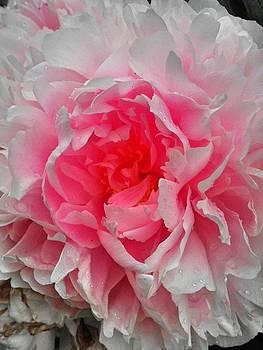 Pink Peony Rose by Beril Sirmacek