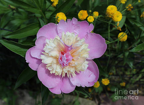 Pink Peony by Shelly Leitheiser