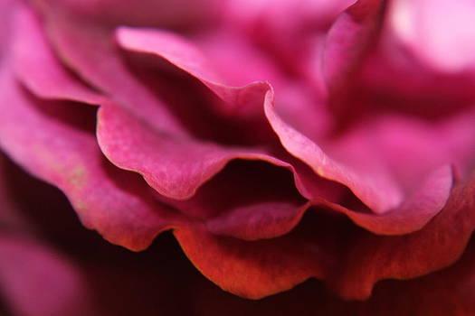 Pink Petal by Sarah Boyd