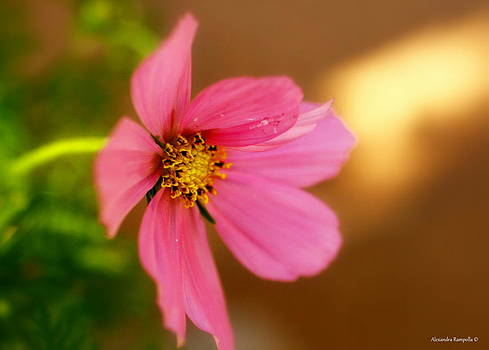 Pink Petals by Alexandra  Rampolla