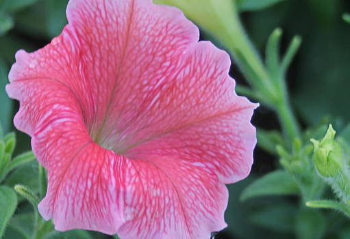 Pink Petunia by Victoria Sheldon