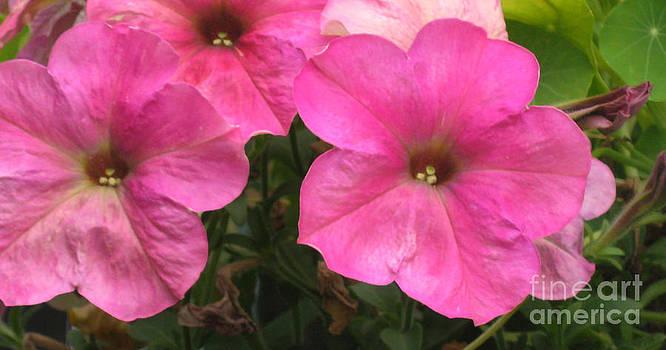 Ellen Miffitt - Pink Petunias - close up