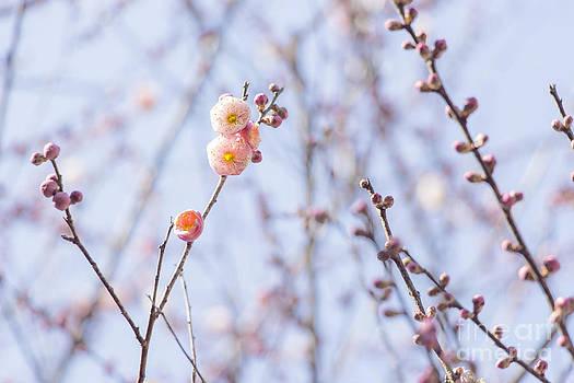 Pink plum blossom by Aduldej Sukaram