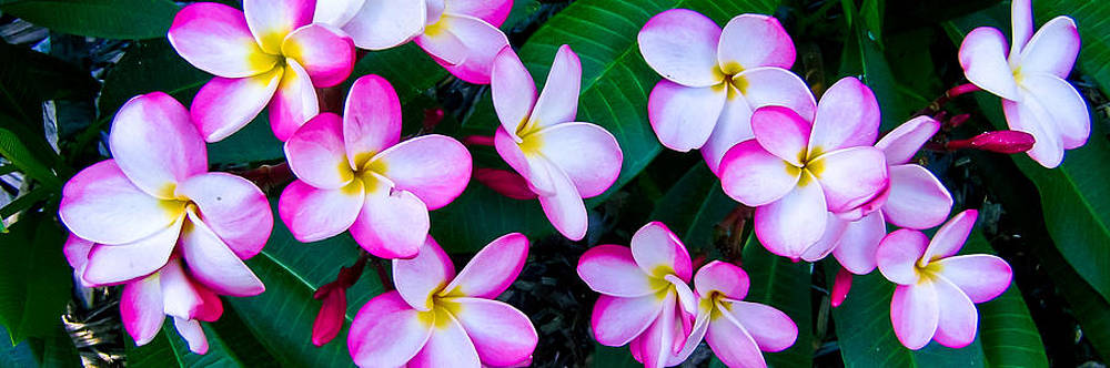 Pink Plumeria Spray by Brian Gibson
