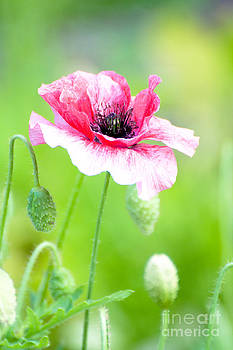 Pink Poppy by Funcards