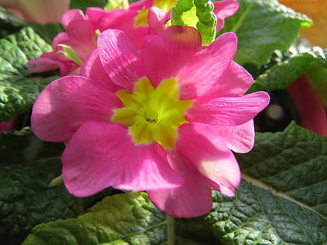Pink Primrose In The Sun by Elisabeth Ann