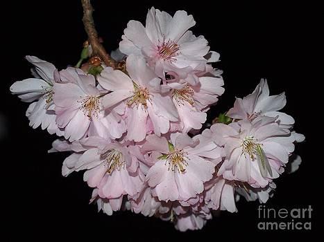 Pink Prunus Blossom by Elizabeth Debenham