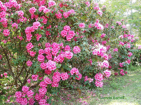 Pink  Rhododendrums by Glenda Barrett