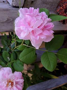 Amalia Jonas - Pink rose