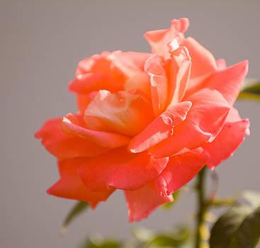 Devinder Sangha - Pink Rose