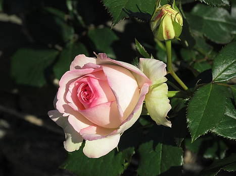 Pink Rose by Dianne Furphy