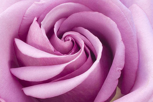Sandra Foster - Pink Rose Folded To Perfection
