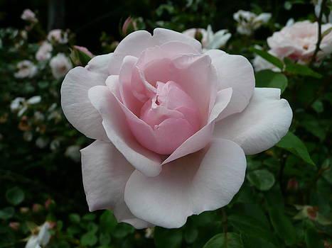 Angela Hansen - Pink Rose in the Garden