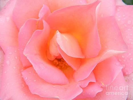 Pink Rose  by Joanne Askew
