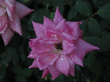 Pink Rose by Pamela Morrow