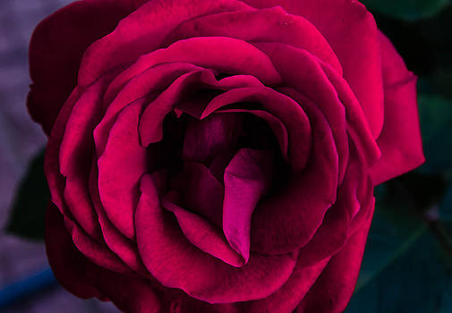 Pink rose. by Slavica Koceva