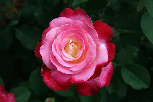 Pink Rose Splendor by Beth Andersen