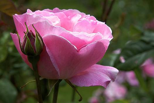 Pink Rose by Terry Horstman