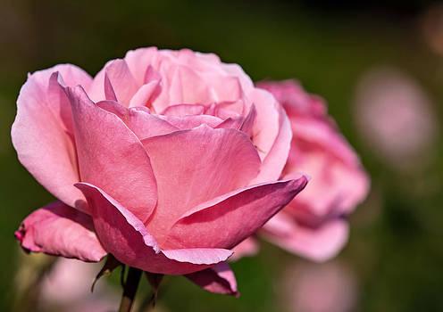 Pink Rose by Tomasz Dziubinski