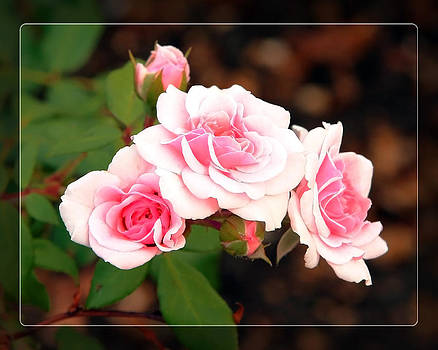 Pink Roses by Donna Haggerty