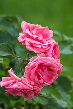 Pink roses by Florentina De Carvalho