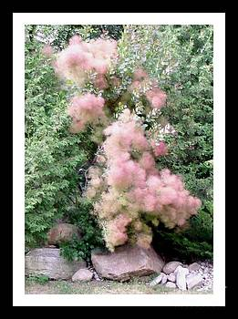 Gail Matthews - Pink Smoke Tree