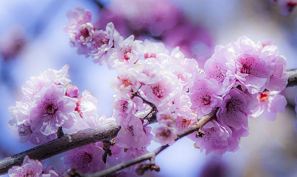 Pink Smooth Flowers by Alfredo Rougouski