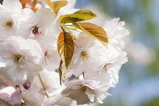 Pink Spring Cherry Blossom by Gillian Dernie
