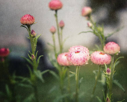 Lisa Russo - Pink Straw Flowers after a Light Rain