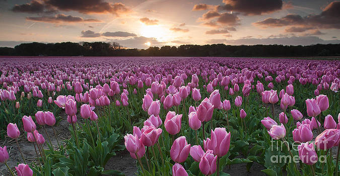 Pink Tulip Field at Sunset by David Hanlon