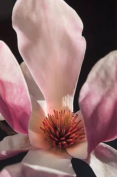 Pink Tulip Magnolia by Jan Stittleburg
