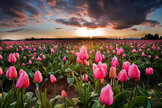 Pink Tulip Serenity by David  Forster