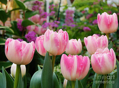 Pink tulips  by Susan Montgomery