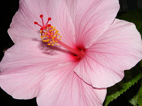 Melissa Lightner - Pink Veins