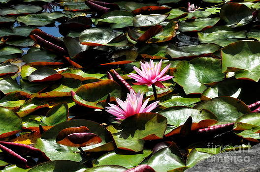 Pink Water Lilies 2 by Tanya  Searcy