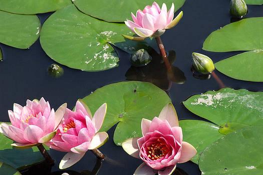 Pink Water Lilies by Kristin Clarke