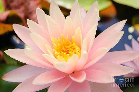 Oscar Gutierrez - Pink Water Lily